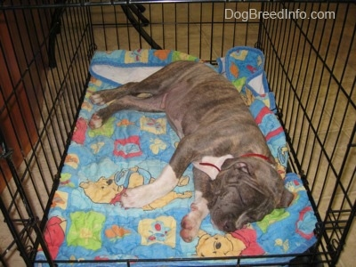 A blue-nose Pit Bull Terrier puppy is sleeping on his left side inside of a crate on top of a Winnie the Pooh blanket.