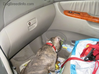 A blue-nose Brindle Pit Bull Terrier puppy is sitting on the floor in front of the passenger side of a tan toyota sienna minivan vehicle and he is sniffing the stuff on the side of a door.