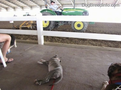 A blue-nose Brindle Pit Bull Terrier puppy is laying on his right side on the sidelines of a horse ring. In front of him there is a green and yellow John Deere  tractor driving around in dirt.