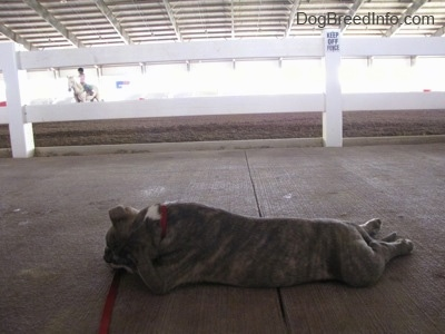 A blue-nose Brindle Pit Bull Terrier puppy is sleeping on a concrete surface and behind him is a person riding a horse in a ring.