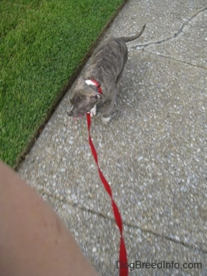 Top down view of a blue-nose Brindle Pit Bull Terrier puppy that is walking down a sidewalk and its mouth is open and tongue is out.