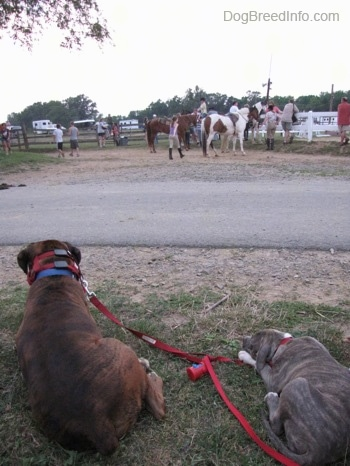 A blue-nose Brindle Pit Bull Terrier puppy and a brown brindle Boxer are laying in grass and they are looking across the road at people and horses.