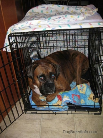 A brown brindle Boxer is laying down inside of a dog crate that is too small for him on top of a blue Winnie the Pooh blanket.