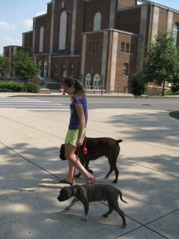 A girl in purple is leading a blue-nose brindle Pit Bull Terrier puppy and a brown brindle Boxer on walk across a street.