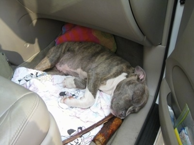 Close up - A blue-nose brindle Pit Bull Terrier puppy is sleeping in the backseat of a Toyota Sienna minivan on top of a white and pink Mini Mouse blanket. There is a bone near his mouth.