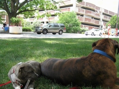 A blue-nose brindle Pit Bull Terrier puppy is laying in grass and chewing on a stick. In front of him is a brown brindle Boxer.