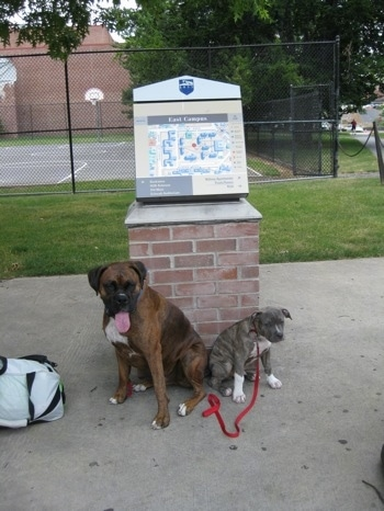 A blue-nose brindle Pit Bull Terrier puppy and a brown brindle Boxer are sitting butt to butt in front of a campus map. There is a basketball court behind them.
