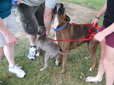 People are standing in front of a blue-nose brindle Pit Bull Terrier puppy and behind them is a brown brindle Boxer. The people are petting the dogs.