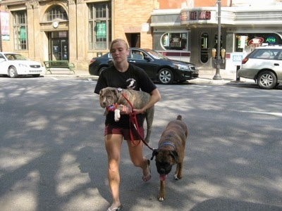 A lady in black is walking with a blue-nose brindle Pit Bull Terrier puppy in her arms across a street and walking next to her is a brown brindle Boxer.
