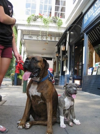 Close up - A brown brindle Boxer is sitting next to a blue-nose brindle Pit Bull Terrier puppy and they are on a concrete sidewalk. The dogs are panting.