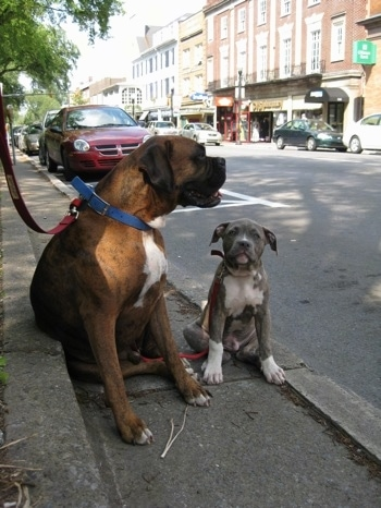 A brown brindle Boxer is sitting next to a blue-nose brindle Pit Bull Terrier puppy on the streets of State College PA. They are sitting curbside under the shade of a tree.