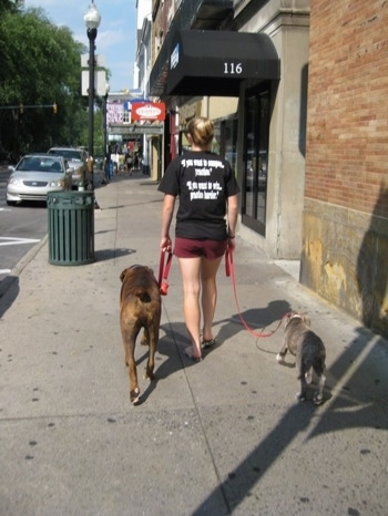 The back of a girl in black is leading a blue-nose brindle Pit Bull Terrier puppy and a brown brindle Boxer on a walk down College Ave.