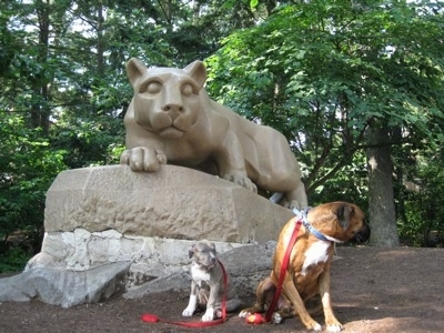 A blue-nose brindle Pit Bull Terrier puppy and a brown brindle Boxer are sitting under the Penn State University Nittany Lion statue.