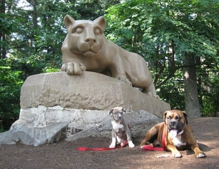 A blue-nose brindle Pit Bull Terrier puppy and a brown brindle Boxer are sitting and laying under the Penn State University lion statue.