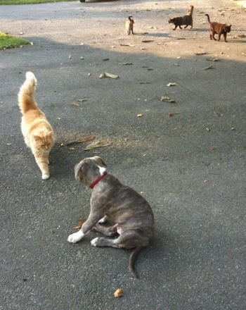 The back of a blue-nose Brindle Pit Bull Terrier puppy sitting on a blacktop surface and an orange and white cat is walking towards him. The cat and the puppy are about the same size. There are three other cats in the background.