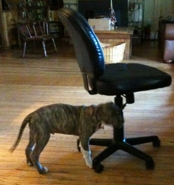 Right Profile - A blue-nose Brindle Pit Bull Terrier puppy is chewing on the height adjuster handle of a black leather computer chair.