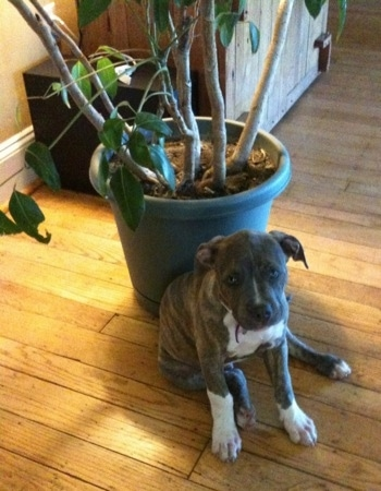 A blue-nose Brindle Pit Bull Terrier puppy is sitting on a hardwood floor leaning against a potted plant.