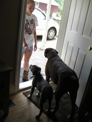 The back of a blue-nose Brindle Pit Bull Terrier puppy and a brown brindle Boxer that are waiting in front of an open door in a living room. There is a girl standing outside in front of them giving them a command to wait.