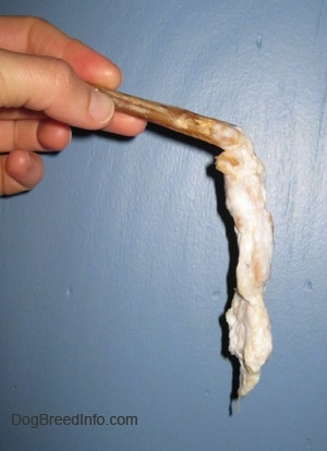 Close up - A half chewed up soggy bully stick being held up against a blue wall.