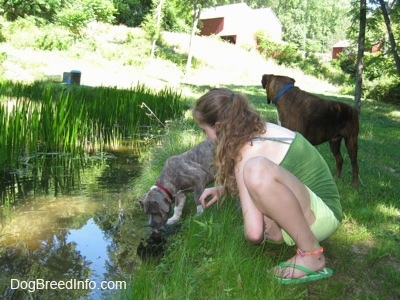 A girl in green is squatting next to a blue-nose Brindle Pit Bull Terrier puppy that is drinking water out of a pond. There is a brown brindle Boxer that is looking across the field at a red barn.