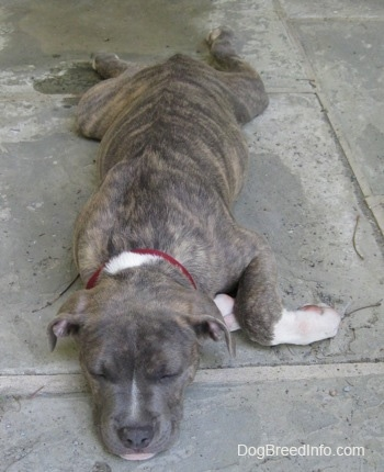 Front view - A blue-nose Brindle Pit Bull Terrier puppy is sleeping out on a stone floor.