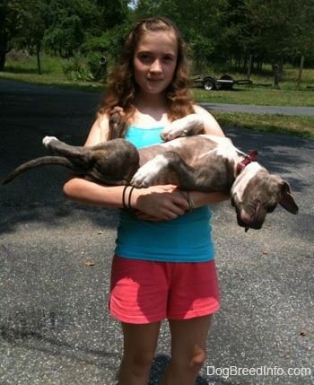 A girl in a blue shirt is holding a sleeping blue-nose Pit Bull Terrier puppy belly-up in her arms outside in a driveway.