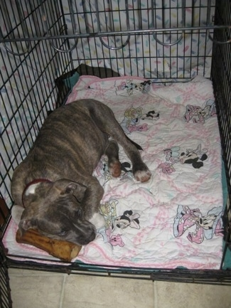A blue-nose Brindle Pit Bull Terrier puppy is laying on a white and pink Minnie Mouse blanket and his head is on top of a bone. There is a white sheet covering the crate.