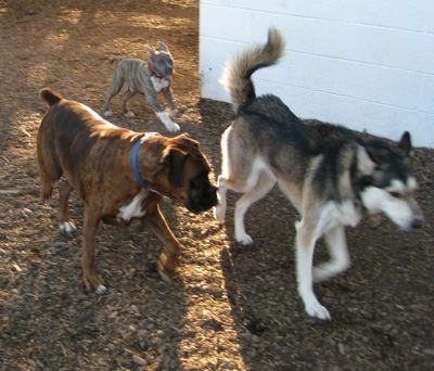 A brown brindle Boxer is running alongside a Husky and behind them is a blue-nose Brindle Pit Bull Terrier puppy.