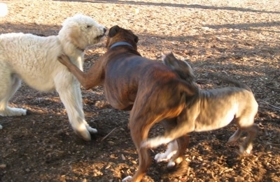 A blue-nose Brindle Pit Bull Terrier puppy is running into the backside of a brown brindle Boxer. The Boxer is pawing at a cream Goldendoodle dog that is standing in front of him.
