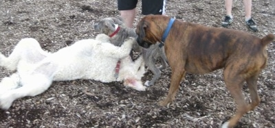 A Goldendoodle is laying on its back and a blue-nose Brindle Pit Bull Terrier is standing over top of the Goldendoodle. There is a brown brindle Boxer looking down at the Goldendoodle.