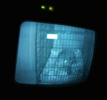 A video monitor of a blue-nose Brindle Pit Bull Terrier puppy that is sleeping in a dog bed.