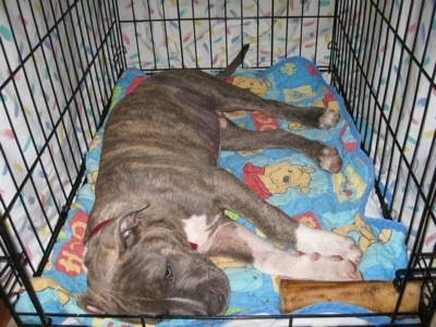 A blue-nose Brindle Pit Bull Terrier puppy is laying on his right side in a crate on top of a Winnie the Pooh blanket. There is a bone in the corner next to his front paws.