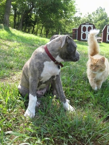 A blue-nose Brindle Pit Bull Terrier puppy is sitting in grass and he is turned to look at an orange and white cat that is walking towards him.
