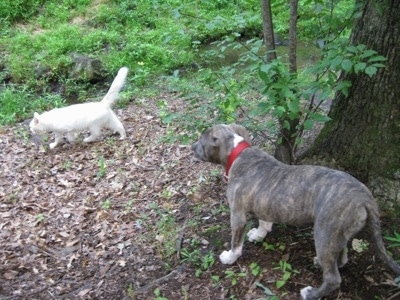 A blue-nose Brindle Pit Bull Terrier puppy is standing outside near a tree and he is looking at a white cat walk by.