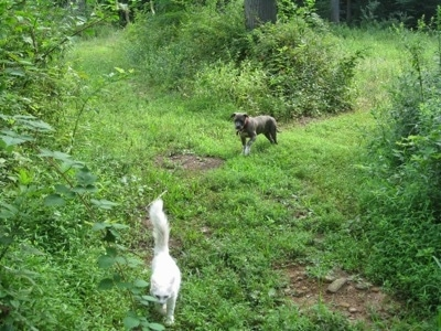 A white cat is walking down a path in a forested area. There is a blue-nose Brindle Pit Bull Terrier puppy following behind the cat.
