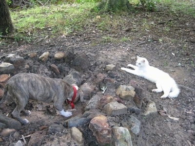 A blue-nose Brindle Pit Bull Terrier puppy is standing in a rock pit and there is a white cat laying down watching.