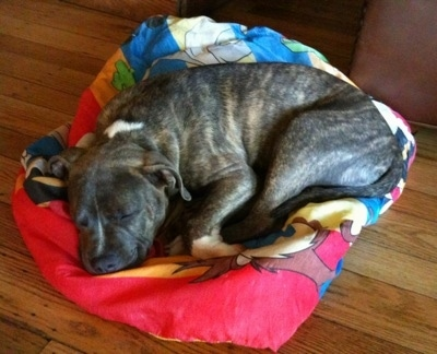 A blue-nose Brindle Pit Bull Terrier puppy is sleeping on a Looney Tunes sleeping bag.
