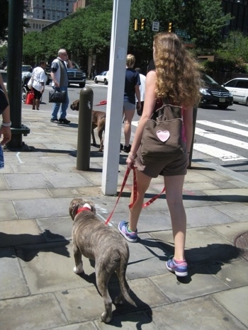 A girl with a pink heart on her brown bag is walking a blue-nose brindle Pit Bull Terrier puppy down a busy city street.
