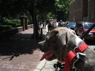 Close up - The back of a blue-nose brindle Pit Bull Terrier puppy that is taking a carriage ride in the old town streets of Philadelphia.