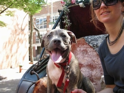 A blue-nose brindle Pit Bull Terrier puppy is sitting next to his owner in a carriage. His mouth is open, his tongue is out and it looks like he is smiling.