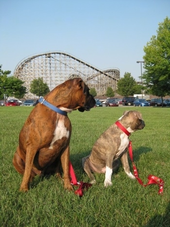A blue-nose brindle Pit Bull Terrier puppy and a brown brindle Boxer are sitting in grass and they are looking to the right. There is a large rollercoaster behind them.