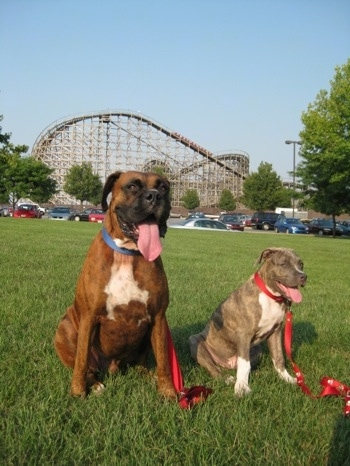 A blue-nose brindle Pit Bull Terrier puppy and a brown brindle Boxer are sitting in grass. There mouths are open and tongues are out. There is a large wooden rollercoaster behind them.