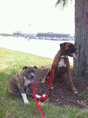 A blue-nose brindle Pit Bull Terrier puppy and a brown brindle Boxer are sitting under the shade of a tree. Both of there mouths are open and tongues are out.