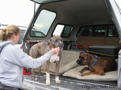 A blonde-haired girl is feeding a blue-nose brindle Pit Bull Terrier puppy food out her hand. There is a brown brindle Boxer laying in the back of a pick-up truck.