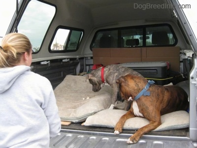 A blue-nose brindle Pit Bull Terrier puppy and a brown brindle Boxer are looking down at pieces of chicken on a dog bed in the back of a pick-up truck as a girl watches.