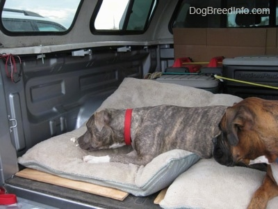 A blue-nose brindle Pit Bull Terrier puppy is laying down and eating pieces of chicken off of a dog bed in the back of a Toyota Tundra pick-up truck. There is a brown brindle Boxer looking over at the puppy.