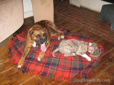 A brown with black and white Boxer is laying on a red and blue plaid blanket and next to him is a laying blue-nose brindle Pit Bull Terrier puppy that is eating out of a food bowl.