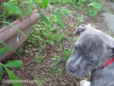 A blue-nose brindle Pit Bull Terrier puppy is standing in front of a moth cocoon on a plant pot.