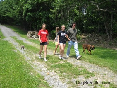 Three girls and a man are on a walk down a path with a brown with black and white Boxer and a blue-nose brindle Pit Bull Terrier puppy.