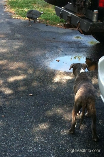The back of a blue-nose Pit Bull Terrier puppy looking across a black top surface at a guinea fowl bird.